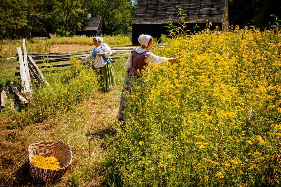 Tickseed sunflowers have been gathered for hundreds of years to be used in dyes to dye fabric a golden shade of yellow