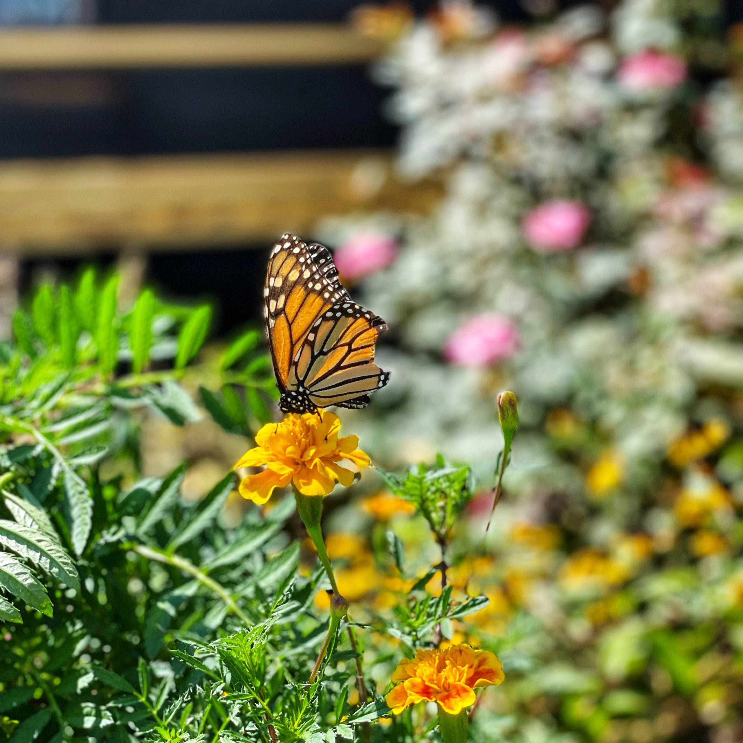 A butterfly sitting on a marigold